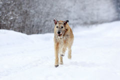 Irish wolfhound dog. In winter Royalty Free Stock Photo