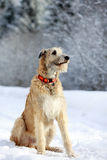 Irish wolfhound dog Stock Photography