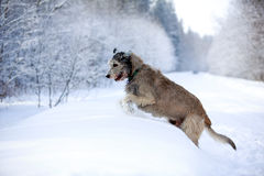 Irish wolfhound dog. In winter Royalty Free Stock Image