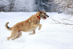 Irish wolfhound dog. In winter Royalty Free Stock Photography