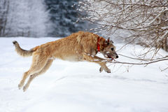 Irish wolfhound dog Stock Image