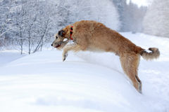 Irish wolfhound dog. In winter Stock Photography