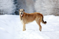Irish wolfhound dog Stock Photo