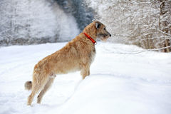 Irish wolfhound dog. In winter Stock Image