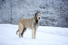 Irish wolfhound dog. In winter Stock Images