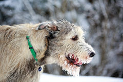 Irish wolfhound dog. In winter Royalty Free Stock Photos