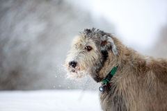 Irish wolfhound dog. In winter Royalty Free Stock Images