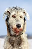 Dog. Irish wolfhound dog winter portrait Royalty Free Stock Photos