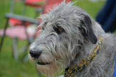 Irish Wolfhound Dog. Irish Wolfhounds are the tallest breed Royalty Free Stock Image