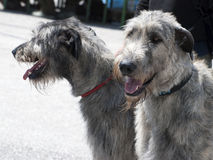 Irish wolfhound dogs Royalty Free Stock Images