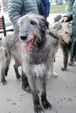 Irish wolfhound dogs at Saint Patrick`s Day celebration in Moscow