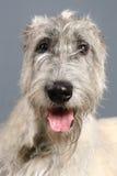 Irish Wolfhound on grey Stock Photo