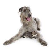 Irish Wolfhound Stock Photos