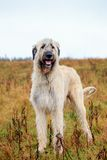 Irish Wolfhound outside Royalty Free Stock Photo