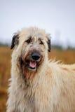 Irish Wolfhound outside Stock Photo