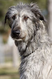 Irish Wolfhound Portrait. An outdoor portrait of an Irish Wolfhound stock images