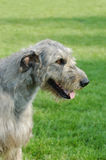 Irish wolfhound portrait Royalty Free Stock Photo