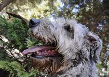 Irish Wolfhound Portrait. Portrait of Irish Wolfhound Out for a Walk Stock Images