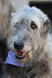 Irish Wolfhound portrait Stock Photos