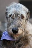Irish Wolfhound portrait Stock Photo