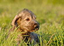 Irish Wolfhound Puppy. Portrait of 3-Months old Irish Wolfhound Puppy Stock Images
