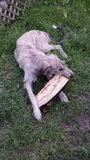 Irish Wolfhound Puppy and Log Stock Photos