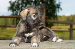 Irish wolfhound puppy lying on the table Royalty Free Stock Photos