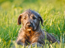 Irish Wolfhound Puppy. Portrait. Portrait of 3-Months old Irish Wolfhound Puppy Royalty Free Stock Photo