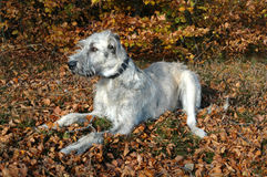 Irish Wolfhound at rest in the forest. Royalty Free Stock Images