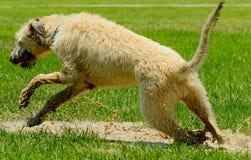 Irish wolfhound running in park. Irish Wolfhound running in wet, muddy park Royalty Free Stock Photography