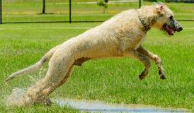 Irish wolfhound running in park. Irish Wolfhound running in wet, muddy park Royalty Free Stock Photos