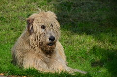Irish Wolfhound Royalty Free Stock Images