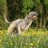 Irish wolfhound smiling and running in yellow flowers Stock Image