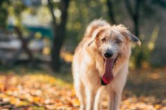 Irish Wolfhound standing on the grass Royalty Free Stock Photography