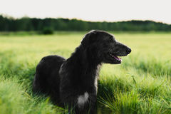 Irish Wolfhound standing in wheat field at sunset Stock Photography