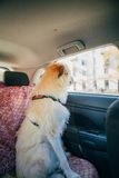 Irish Wolfhound traveling in the car Stock Photos