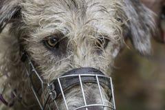 Irish wolfhound Stock Photo