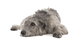 Irish Wolfhound Royalty Free Stock Photo