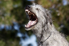 Irish Wolfhound Yawing. An Irish Wolfhound yawing showing off all of his teeth stock photos