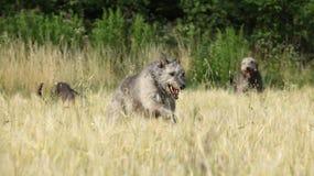 Irish wolfhounds running in nature Royalty Free Stock Photo