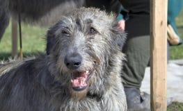 Irish wolfwound dog Stock Images