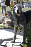 Irish wolfwound dogs Stock Photography