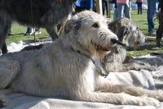 Irish wolfwound dogs Stock Photos