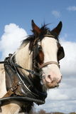 Irish working horse portrait. Irish horses pulling the carriage through irish fields Stock Photography