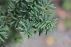 Irish Yew. Latin name - Taxus baccata royalty free stock images