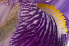 Irisi closeup. Beautifull iris flower detail closeup Royalty Free Stock Photography