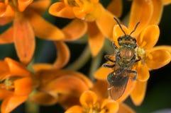 Irisierende Schweißbiene Stockfotografie