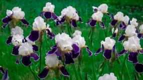 Irisiriers bland andra växter Royaltyfri Fotografi