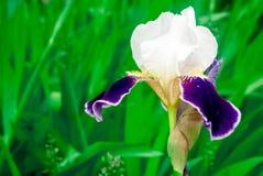 Irisiriers bland andra växter Royaltyfri Foto
