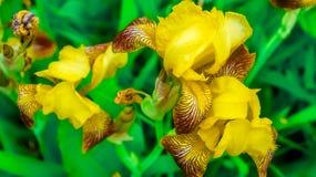 Irisiriers bland andra växter Royaltyfria Foton